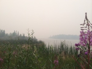 Fireweed and the forest fire smoke